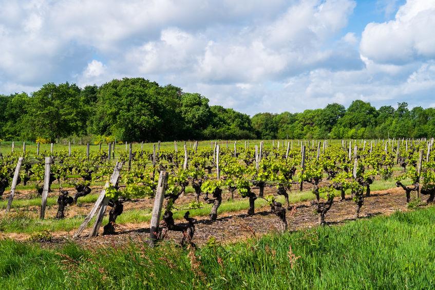 vingårder i angers