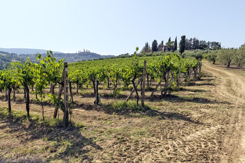 vingårder i siena